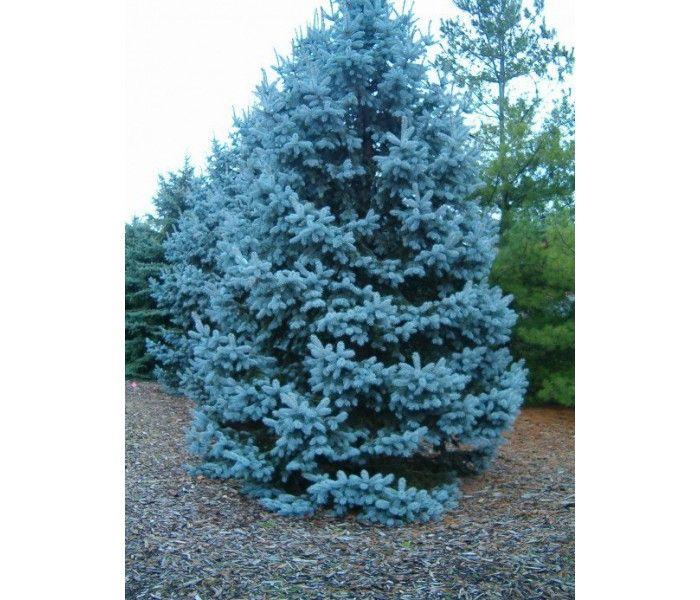 Mavi #ladin tohumu için sitemizi ziyaret edebilirsiniz. #tarımsal #ağaç