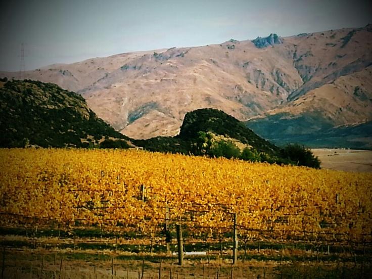 Autumn colours at the Prophet's Rock vineyard. Central Otago #vintage2013