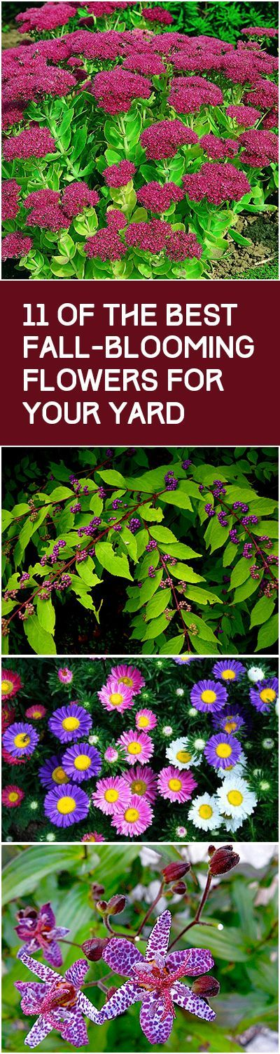 11 of the Best Fall-Blooming Flowers for Your Yard.. Toad Lily, Colchicum, Asters, Perennial Sunflowers, Blue Star Amsonia, Red Spider Lily, Goldenrod, Helenium, Beautyberry, Garden Mums, and Sedum. Click link for more information.