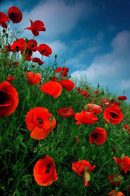 Poppies Against Summer Sky