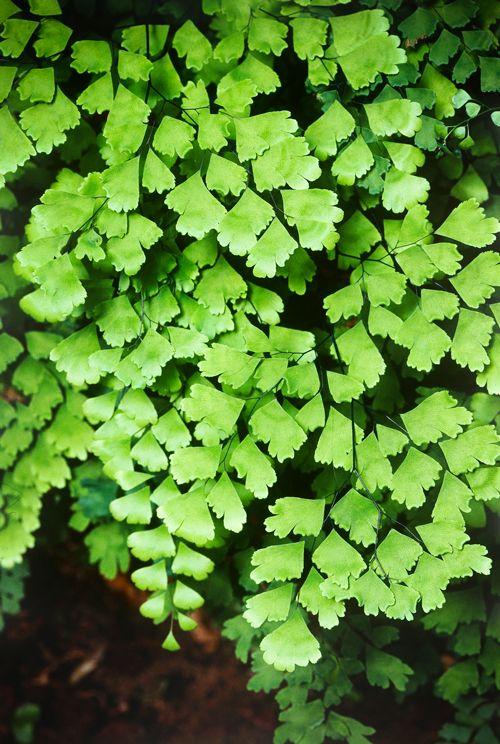 Maidenhair Maidenhair Fern Plants Indoor Plant Pots