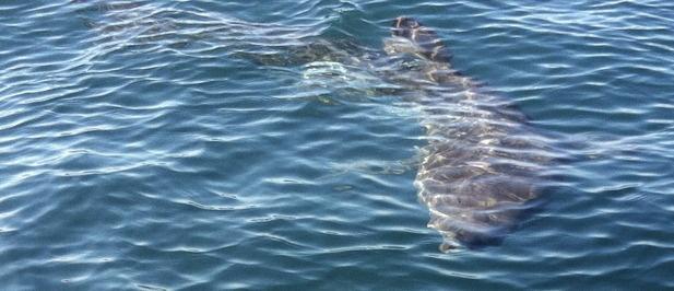 http://www.larazon.es/noticia/9573-avistado-un-segundo-tiburon-peregrino-en-asturias-enredado-en-artes-de-pesca      Tiburón peregrino de 6m encontrado cerca de la costa.