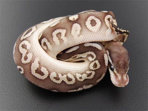 Lesser Black Pewter Ball Python - Really beautiful!