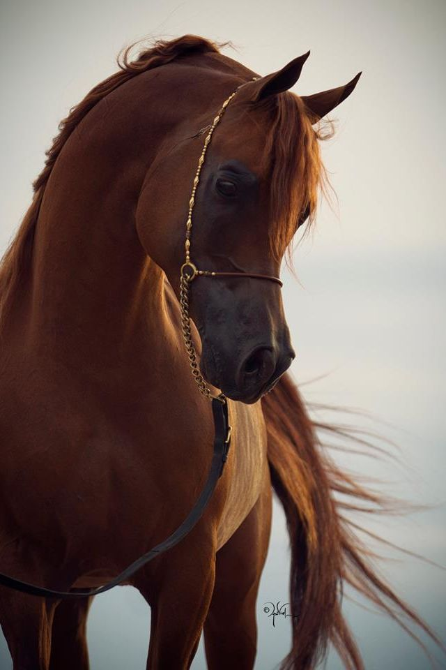 Arabian Horse. I LOVE horses and Arabians are my favorite! When I was young I had the best horse ever. he was half quarter horse and half Arabian. Loved him!