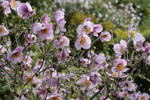 Zawilce czyli anemony - nieocenione byliny późnego lata i jesieni - Ogrodowisko
