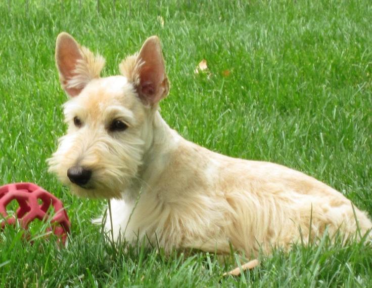 Hazel Dolly: Wheaten Scottie, Scottie Dogs, Beautiful Scotties, Scotties Wheatens, Baby Wheaten, Cherished Scotties, Scottish Terriers