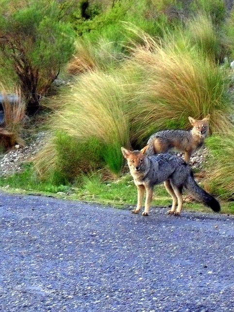 Zorros en la ruta de Merlo | San Luis | Argentina
