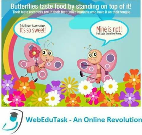 Butterflies taste Food by Standing Top of it. Their Taste Receptors are in their Feet unlike Humans who have it in their Tongue.  Get in Touch with us at www.webedutask.com for all your Educational Assignments, Projects & Homework Assignments  #Webedutask #education #assignment #Australia #Newzealand #Homework #learning #management #studies #web #task #university #science #America #USA #Europe #Nigeria