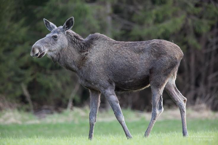 Moose. Photo by Frank Kottisch.