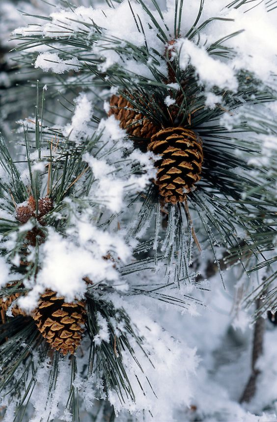 Pine cones on snow covered pine. Would make a beautiful holiday card … photo by Ron Rovtar