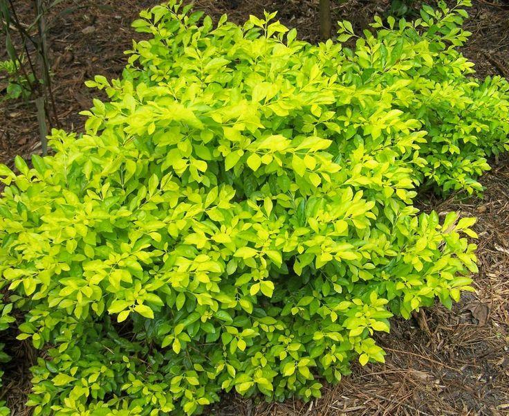 Gold Mound Duranta | Cuban Gold, Gold Mound Duranta erecta 'Aurea' 3-4', golden-yellow ...