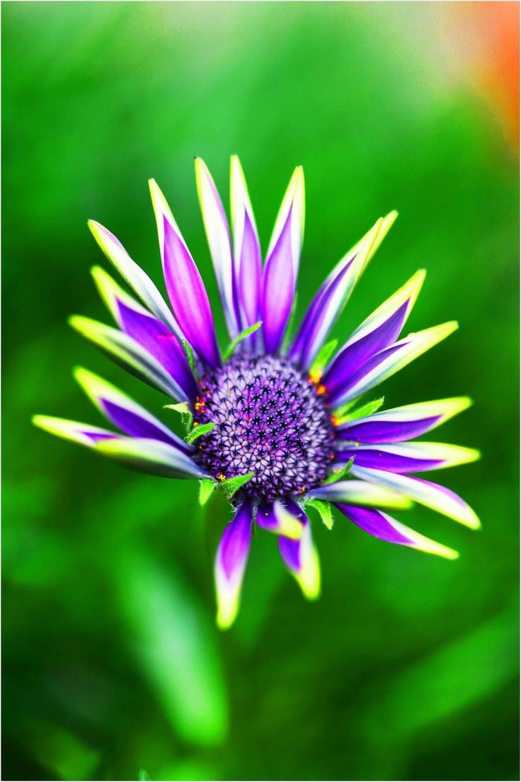 woman-taken-by-the-wind:    Purple Daisy by *emerald753      (via imgTumble)