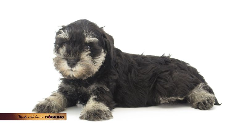We need to reinforce the behavior of our puppies either with dogs's prices or by showing our joy. #advice #madewithlove #dogs #puppies #schnauzermini #DOGKING #oneofthefamily