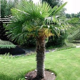 Palmier à chanvre