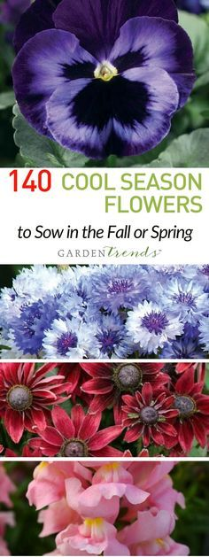 For many regions, these annuals can be planted in the fall, then overwinter and bloom in the spring. When planting these flowers in cool weather, they become well established and grow a strong root system. The result? You'll have spectacular, thriving flowers in the spring and enjoy gorgeous blooms all season!