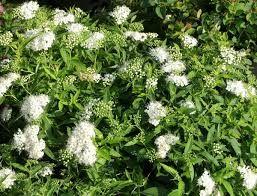F. valkoruusuangervo albiflora