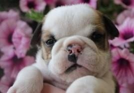 Available Trained English Bulldog Puppies For Sale