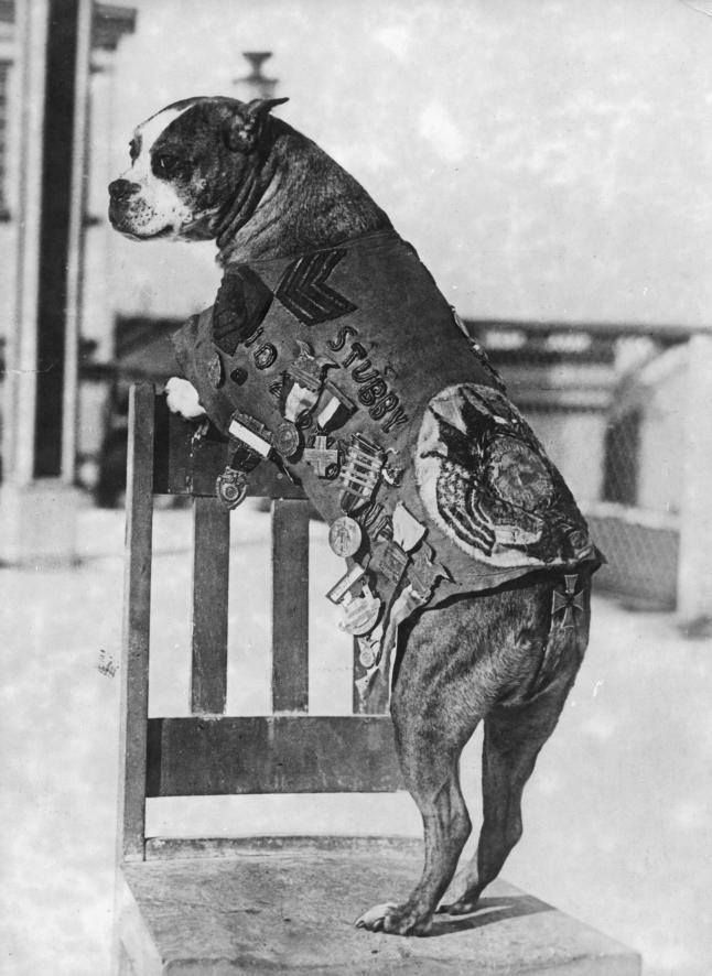 Sergeant Stubby was the most decorated war dog of WWI, and the only dog to be promoted to sergeant through combat. America's first war dog, Stubby served for 18 months and participated in seventeen battles on the Western Front. He saved his regiment from surprise mustard gas attacks, found and comforted the wounded, and even once caught a German spy by the seat of his pants, holding him there until American soldiers found him.