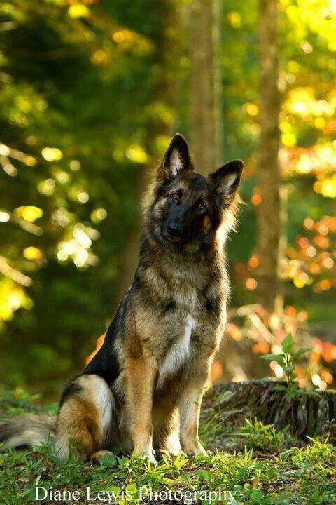 Just love the inquisitive German shepherd look!
