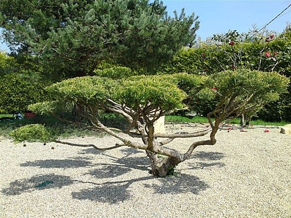 Juniperus niwaki jardin conif res pinterest - Video bonsai jardin japonais ...