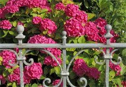 Hortenzie: nejčastější chyby v pěstování