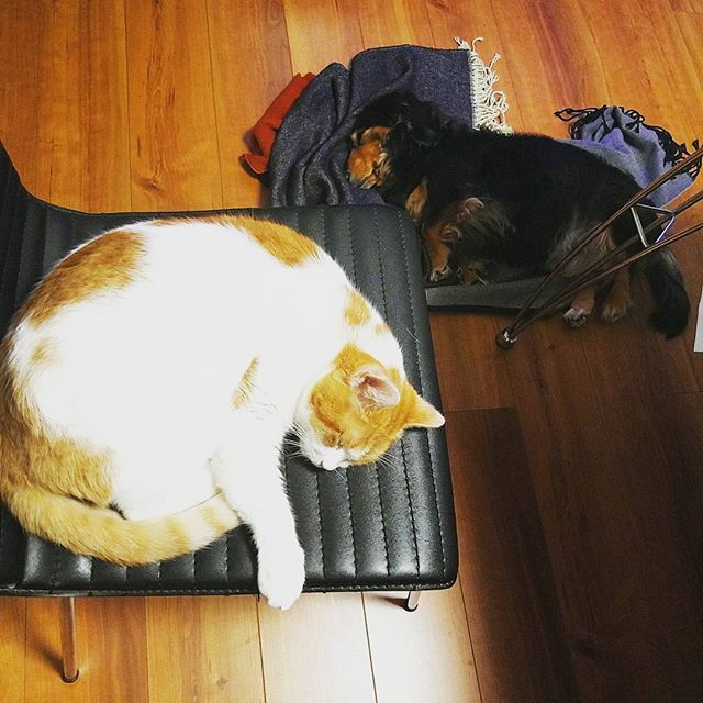 只今、私以外、すべて夢の中💤🎠💤 今日はほんとにさむーい((( ;゚Д゚))) そろそろエアコンだけじゃ辛いな~☆ ̄(>。☆) #cat#catsofinsta #catsoninstagram #cats#cats🐱 #catstagram #catsofinstagram #ねこ#ねこ部 #猫 #愛猫 #dogstagram #dog #ミニチュアダックス #ミニチュアダックスフンド #多頭飼い #love #家族#愛犬