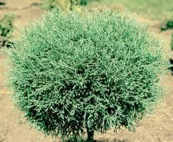 images  arborvitae  pinterest sun shrubs