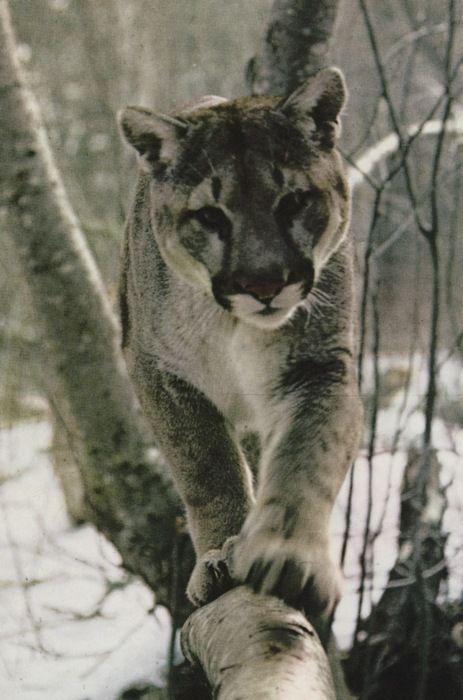 : Wild Cat, Wild Animal, Big Cat, Faces, Beautiful Animal, Lion Love, House, Mountain Lion, Florida Panthers