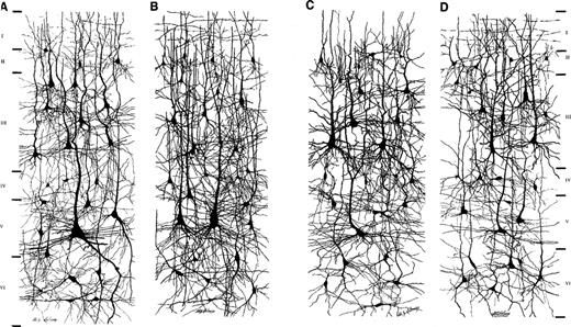 Figure 2.Drawings of cortical neurons in (A) the crown of lobulus paracentralis, (B) the posterior wall of gyrus centralis anterior, (C) the crown of gyrus frontalis superior and (D) the anterior wall of gyrus centralis posterior, highlighting interareal differences in pyramidal cell structure in the human brain (modified from Conel, 1959).