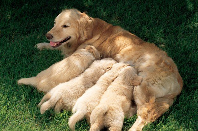 How To Feed Puppies Rice Cereal Pregnant Dog Newborn Puppies