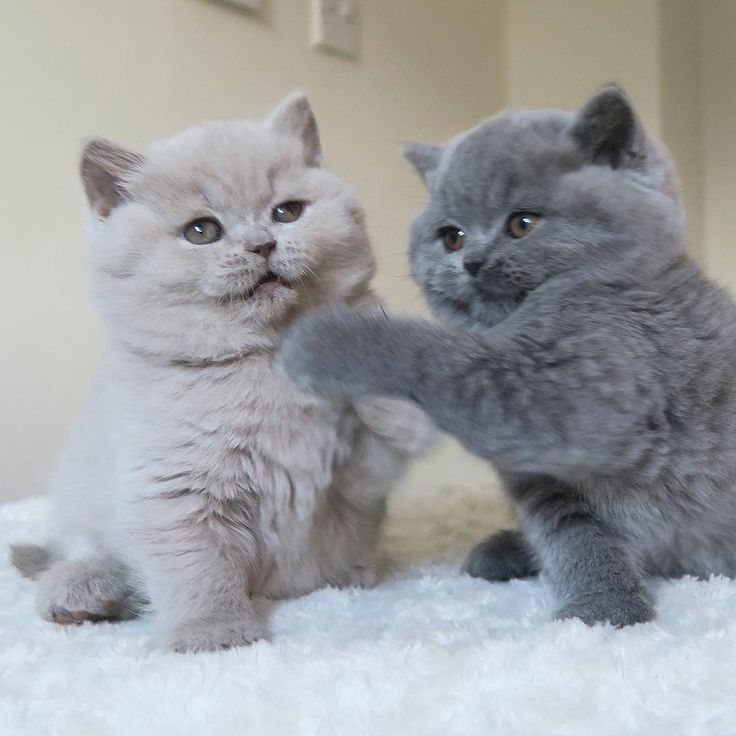 36 Best British Shorthair And Scottish Fold Cats Images On