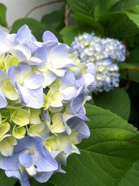 Nikko Blue...my favorite hydrangeas