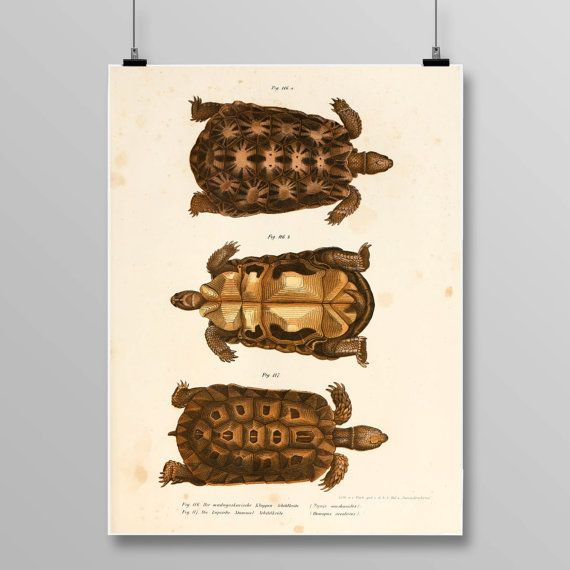 Antique Turtle Decor, Turtle Wall Art, Antique Turtles, Vintage Lithograph, Reptile Decor, Turtle print, Vintage Art Print, 373 by STANLEYprintHOUSE  3.00 USD  Antique Turtle Decor, Turtle Wall Art, Antique Turtles, Vintage Lithograph, Reptile Decor, Turtle print, Vintage Art Print, 373  This poster is printed using high quality archival inks, and will be of museum quality. Any of these posters will make a great affordable gift, or tie any  ..  https://www.etsy.com/ca/listing/48374..