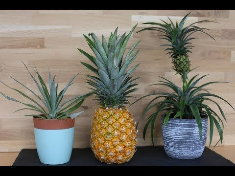 planting pineapple propagation amp cultivation