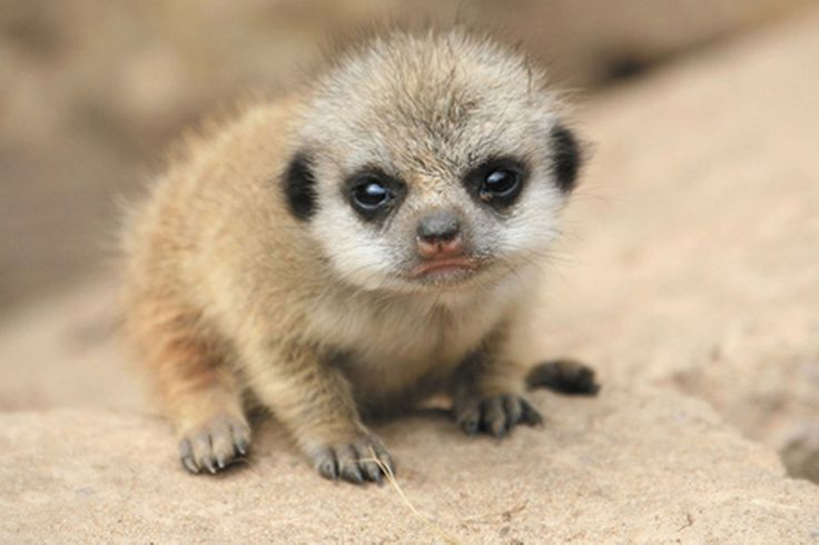 Baby meerkat. Prev. pinner claims they are known to attack + bite in captivity and that their bites contain large amounts of rabies.