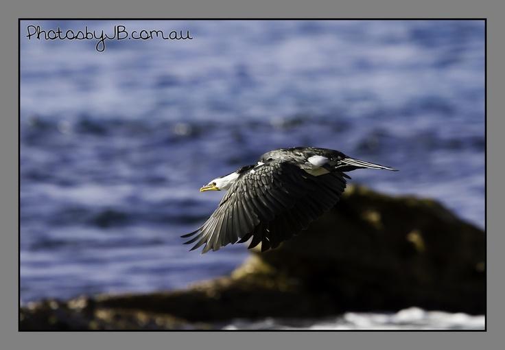 Bird in Flight, Palm Beach, July 2012