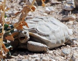 Desert tortoises are simply remarkable animals and have existed unchanged for about 18 million years.  As a Californian, I am proud of our intrepid little Mojave desert tortoise (Gopherus agassizii) who manages to survive in the driest desert in North America. They dig burrows that stretch for over twenty feet and can hand them down to multiple generations.