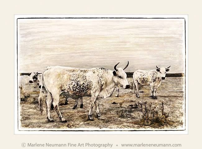 NGUNI ANCESTORS...The peaceful warriors of the animal world. Working with them made me realise just how gentle these beings are. Their big brown eyes staring far into the distance. Chewing their food a dozen times before swallowing. Being with them grounded me. In fact I could think of nothing else except the stillness they emanated...love Marlene