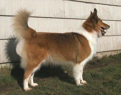 scotch collie dog photo | Scotch Collie Information and Pictures, Scotch Collies, Farm Collies ...
