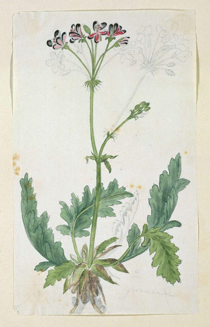 Robert Jacob Gordon | Geranium (Pelargonium pulchellum Sims), Robert Jacob Gordon, 1777 - 1786 | Geranium (Pelargonium pulchellum Sims).
