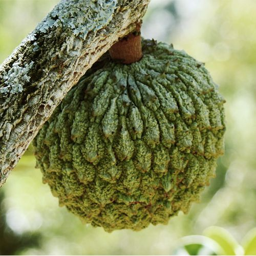 Frutas de A a Z - Marolo