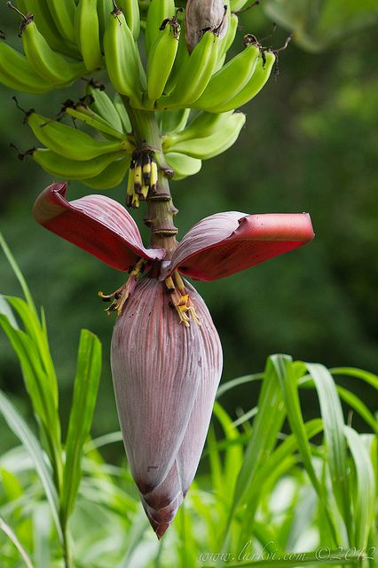 Banana Flower Costa Rica.  I saw one for the first time in South Sudan.