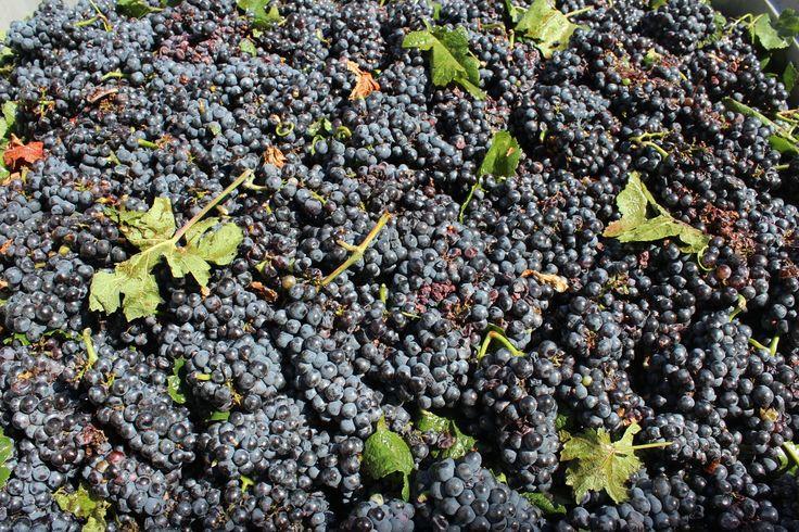 #Harvest time. #grapes #wine #Puglia