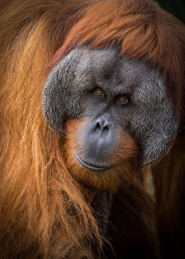 Pin By Alicia Kramer On Endangered Sumatran Orangutan Orangutan Primates
