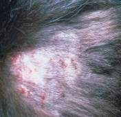 Picture of Cat Skin Bumps and Lumps
