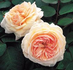 A SHROPSHIRE LAD* - Climbing rose