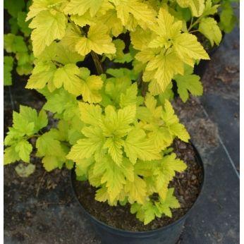 Pęcherznica kalinolistna Aurea - cechuje się intensywnie żółtymi liśćmi.