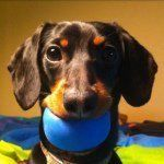 """Crusoe Dachshund on Instagram: """"Minions Part 3 - last #Minions video for a little while at least! Don't forget there's more of our funny adventures in my new book - link on my profile page. Thanks for being awesome fans everyone!"""""""