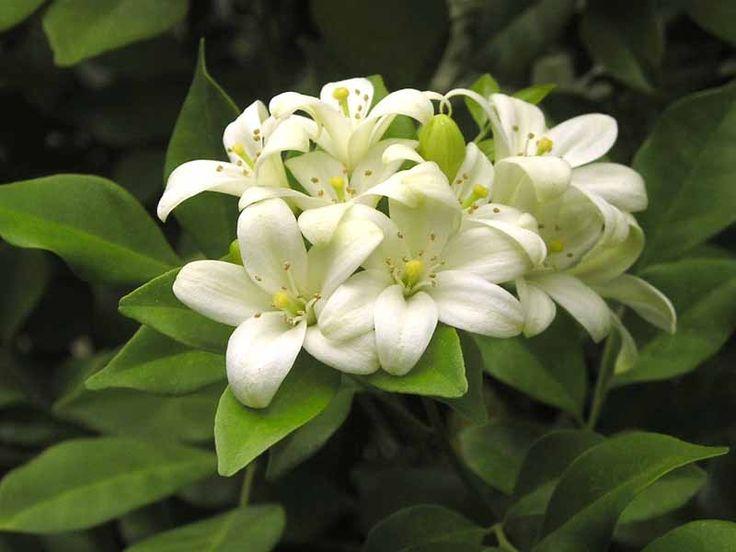 Agua de azahar se llama a la infusión de una serie de flores pertenecientes a diferentes frutales, como naranjo, limonero.. https://naturalum.wordpress.com/2015/10/09/propiedades-del-agua-de-azahar/