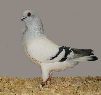List of Pigeon Breeds | Italian Owl Pigeon Pictures